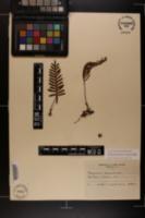 Pleopeltis polypodioides subsp. michauxiana image