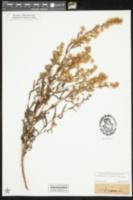 Dittrichia viscosa image