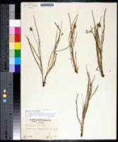 Callisia rosea image