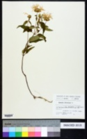 Monarda fistulosa image