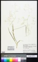 Image of Lachnagrostis filiformis
