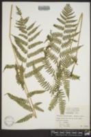 Athyrium filix-femina var. asplenioides image