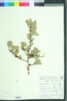 Sideroxylon celastrinum image