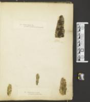 Orbilia vinosa image