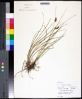 Carex complanata image