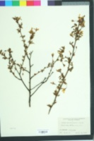 Prunus incisa image