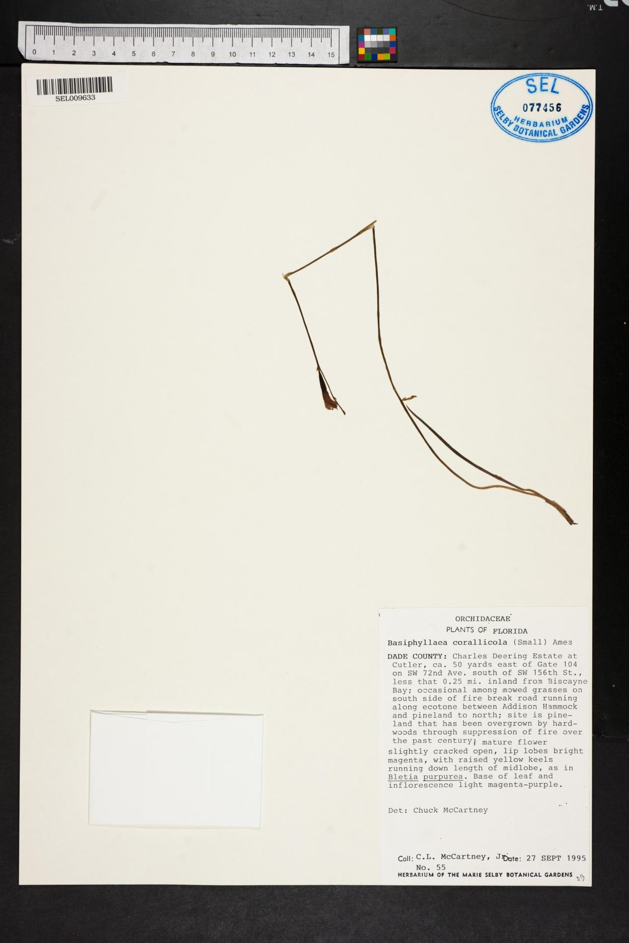 Basiphyllaea corallicola image