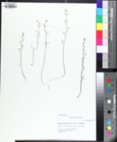 Image of Bartonia paniculata