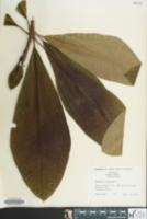 Image of Magnolia tripetala