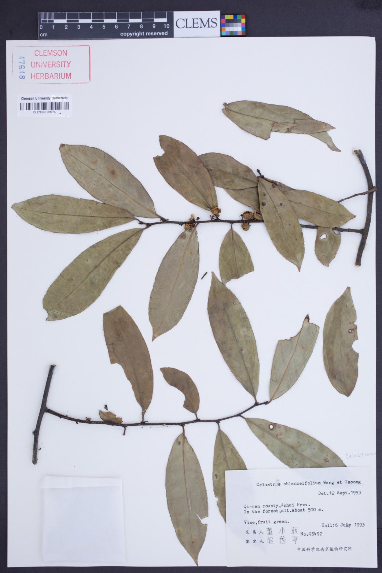 Celastrus oblanceifolius image