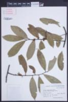 Image of Celastrus oblanceifolius