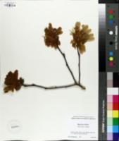 Magnolia stellata image