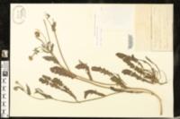 Image of Picris pauciflora