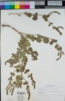 Verbena lasiostachys image