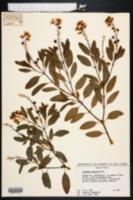 Galphimia gracilis image