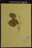 Image of Vincetoxicum gonocarpos