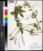 Image of Cleome houtteana