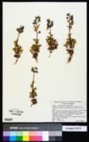 Image of Lupinus subcarnosus