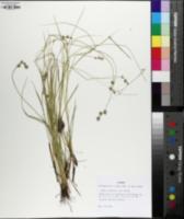 Carex atlantica image