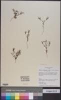Houstonia subviscosa image