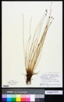 Eleocharis montana image