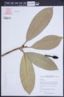 Image of Magnolia insignis