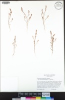Polygonum polygaloides image