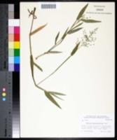 Panicum malacophyllum image
