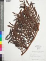 Image of Cyathea coactilis