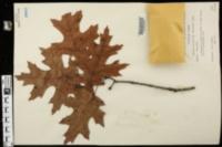 Quercus coccinea var. tuberculata image