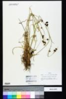 Rhynchospora recognita image