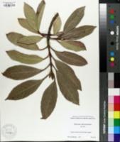 Image of Viburnum odoratissimum