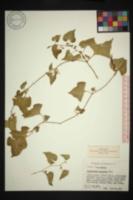 Aristolochia pentandra image