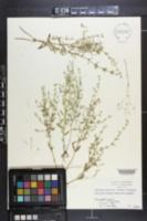 Clinopodium arkansanum image