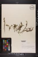 Mayaca fluviatilis image