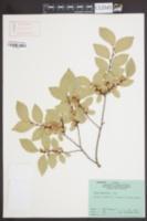 Ulmus parvifolia image