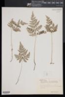 Cystopteris montana image