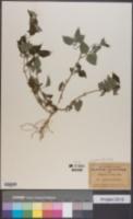 Image of Lagascea mollis