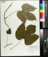 Calycocarpum lyonii image