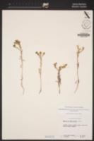 Deinandra increscens subsp. increscens image
