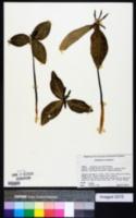 Image of Trillium gracile