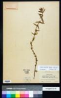Image of Diodia apiculata