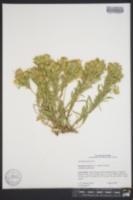 Image of Ericameria zionis
