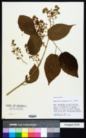 Image of Tynanthus polyanthus