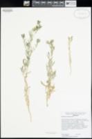 Mentzelia veatchiana image