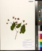 Image of Begonia sutherlandii