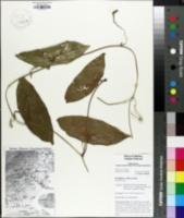 Image of Passiflora coriacea