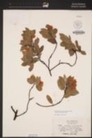 Arctostaphylos crustacea subsp. rosei image