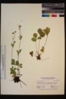Potentilla flabellifolia image