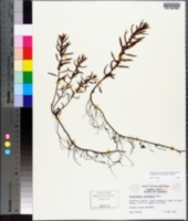 Proserpinaca intermedia image